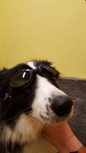 A border collie in laser goggles